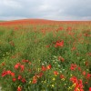 Page link: SOUTH DOWNS AT DENTON - POPPY FIELDS