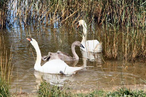 Photo:Swans and one of the cygnets