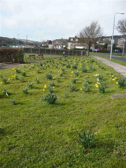 Photo:Daffodils in Fort Road