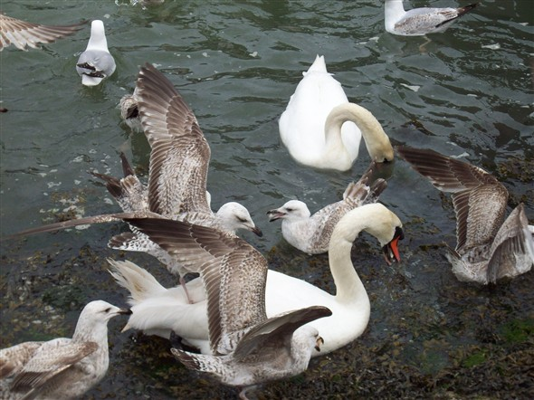 Photo:SWANS V'S SEAGULLS - GET OFF OF MY BACK